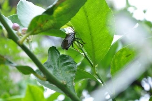 Some unwanted visitors on my lemon tree - Stink Bugs