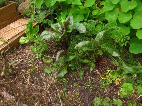 My ever slow growing beetroot, though I do at least pick the leaves off sometimes and include them in salads.